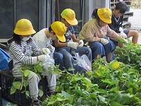 黒枝豆を収穫する様子